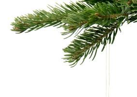 Holiday Season Aromas: Fir