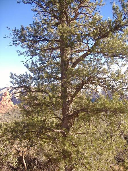 The Pinyon Pine Tree: Photo Copyright Sharon Fallsetto, All Rights Reserved