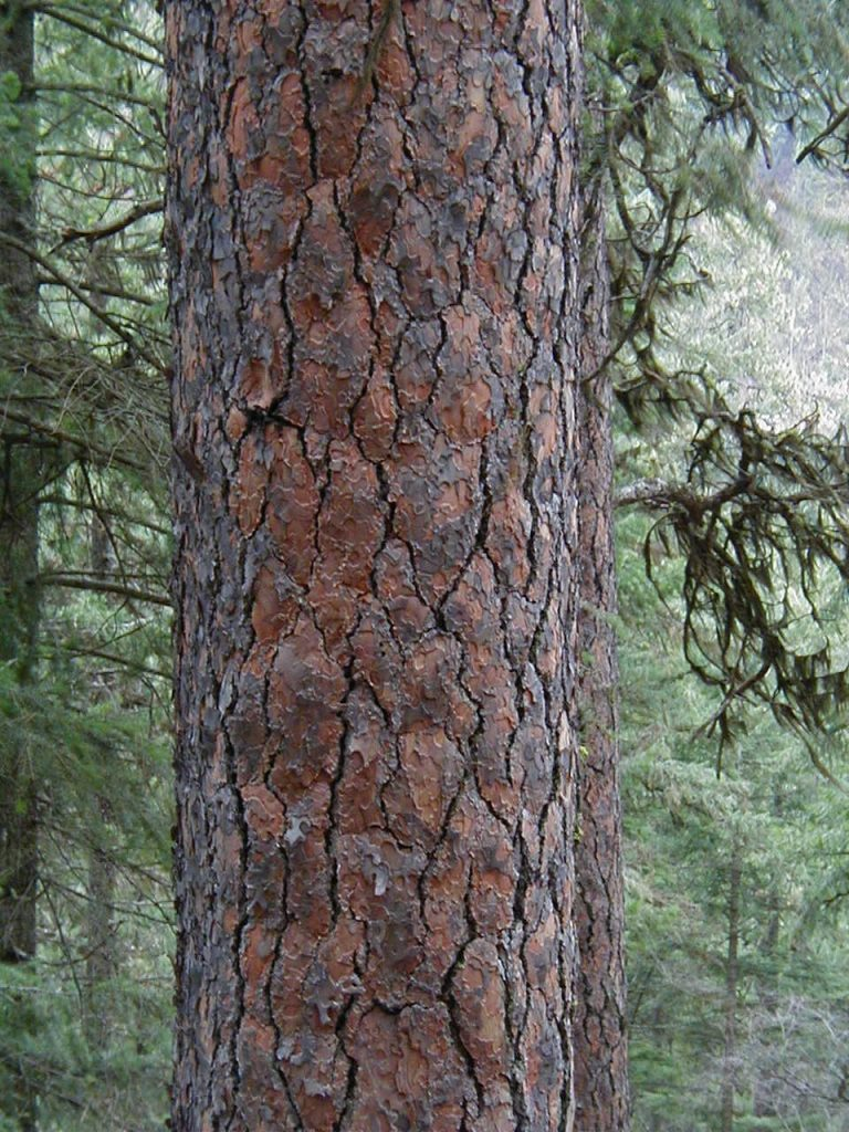 Ponderosa Pine is Used as an Essential Oil and Hydrosol: Photo is in Public Domain