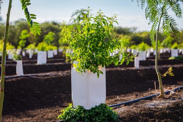 New Sandalwood Seedling Planted: Used with Permission of Santanol