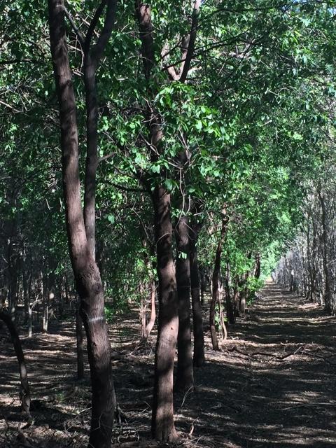 Sandalwood Trees: Used with Permission of Santanol