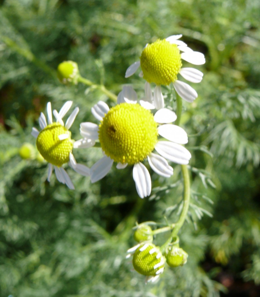 Chamomile can be used in aromatic bath teas, and infused oils: Photo Copyright Sharon Falsetto All Rights Reserved