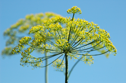 Fennel: Photo Credit Ernst W Breisacher ISP