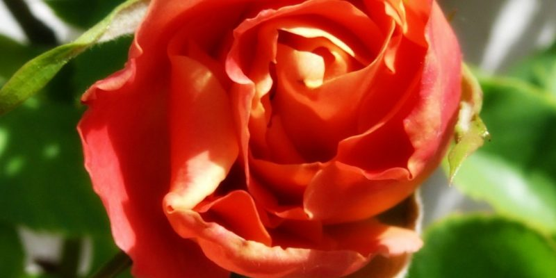 Extractions of Rose: Photo Copyright Sharon Falsetto, All Rights Reserved