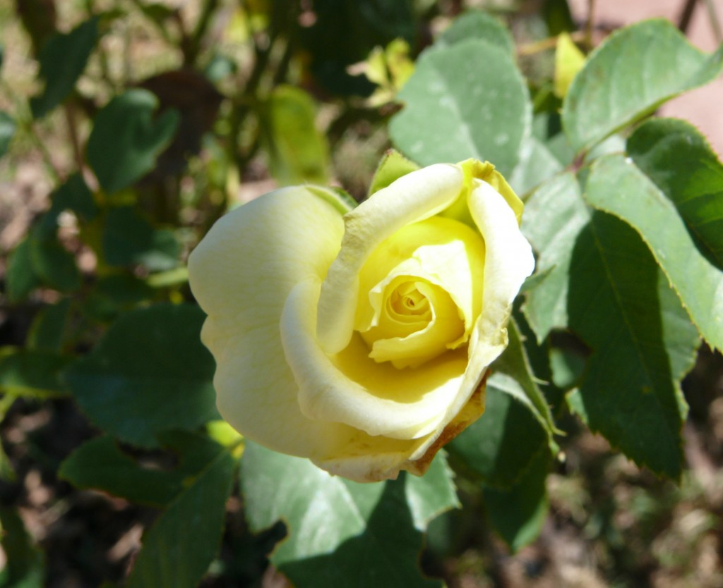 Rose in the Garden: Photo Copyright Sharon Falsetto, All Rights Reserved