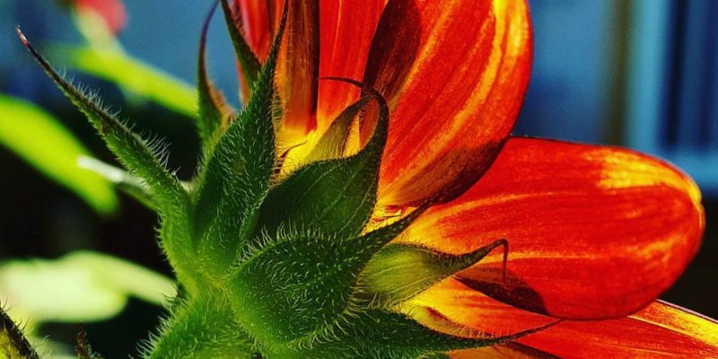 Sunflowers come in many different colors in the aromatic garden. Photo is protected by copyright Sharon Falsetto.