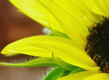 Sunflowers produce sunflower oil. Image is protected by copyright Sharon Falsetto