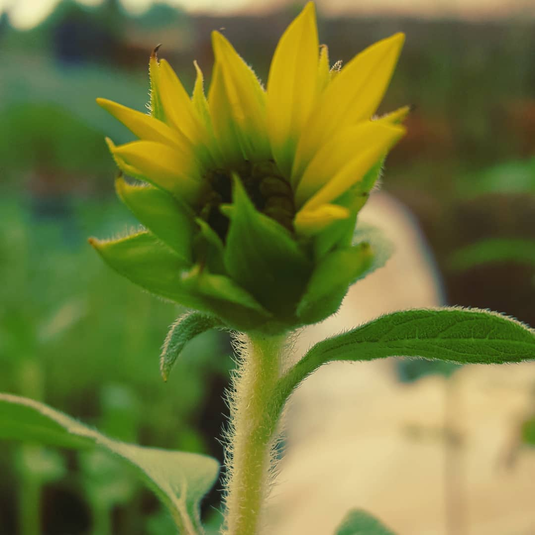Using sunflower in aromatherapy blends. Photo is protected by copyright Sharon Falsetto.