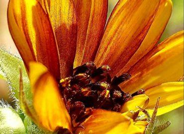 Sunflower in a bronze hue from the garden. Photo Copyright Sharon Falsetto.