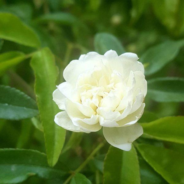 Aromatic Perfume in the Garden Workshop