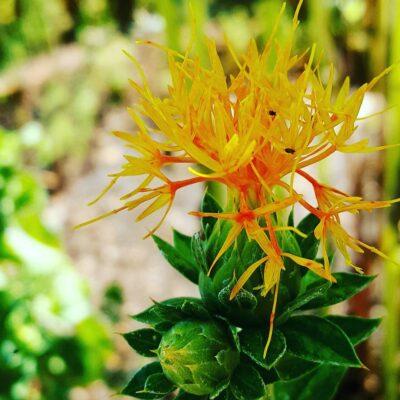 Safflower in the Apothecary Garden
