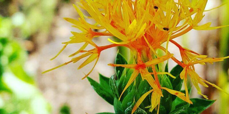 safflower in the apothecary garden by sharon falsetto