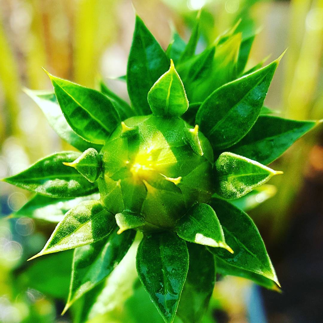 Safflower Bud in the Apothecary Garden