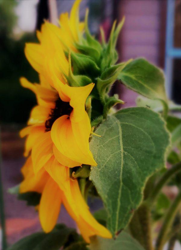 Sunflower Zoom Eclass