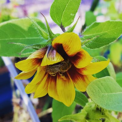 An Introduction to Sunflower (Helianthus annuus)