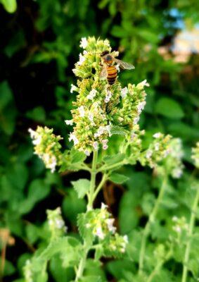 Herbal Honey in Aromatherapy