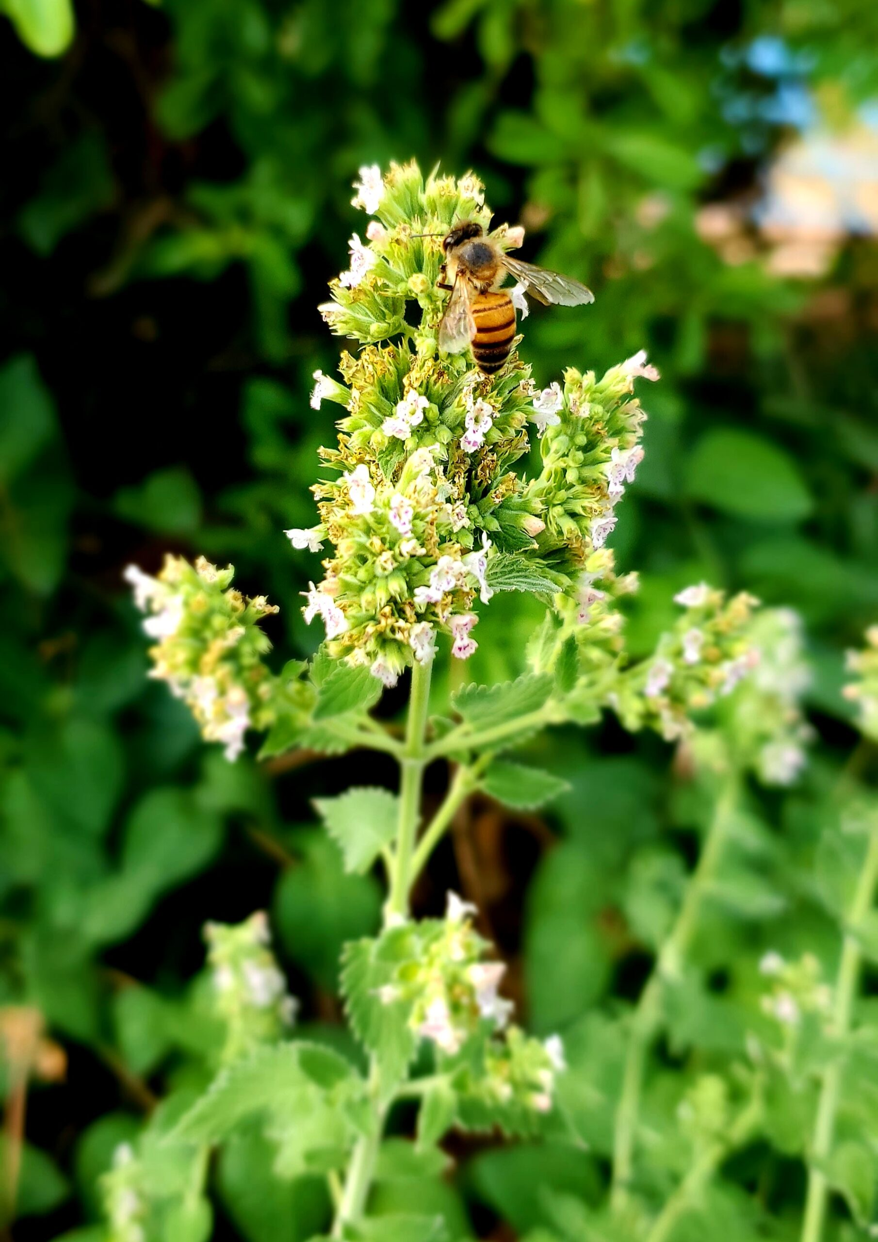 Herbal Honey in Aromatherapy and Bees
