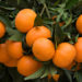 The Difference Between Mandarin and Tangerine Essential Oils