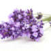 The Difference Between Spikenard and Lavender Essential Oil