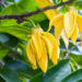 Ylang-Ylang and Cananga Essential Oils: Photo Credit, ISP