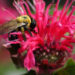 The Difference Between Bergamot and Bee Balm