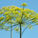 Aromatics: The Difference Between Dill and Fennel